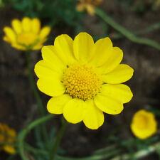 Yellow Daisy Seed 50 Seeds Chrysanthemum Multicaule Flower Garden Seeds Hot A047