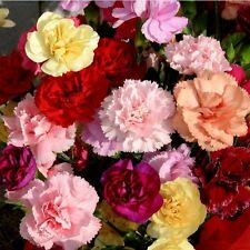 Flower Seed - DIANTHUS - Double Mixed Multicolour Flower - Pack of 50 Seeds.