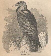 A1068 Aquila reale - Stampa Antica del 1911 - Xilografia