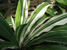 BULB of CRINUM LILY Variegated Amarilis Plant + FREE Phytosanitary Certificate #