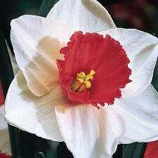 10 Narcissus Decoy,Daffodil Bulb,Pure white petals w/very dark orange red cup