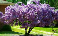 African wisteria (Tree Wisteria) Fresh Seeds perfect as a bonsai tree! Easy grow