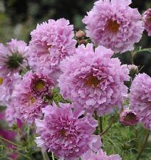 Cosmos - Double Click Rose Bon Bon - 20 Seeds