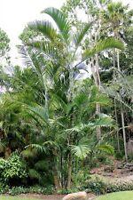 PEMBA PALM (Dypsis pembana) 5 seeds