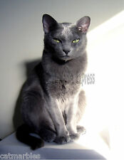 Metal Refrigerator Magnet Gray Male Korat Cat Good Luck Cat Cats Green Eyes