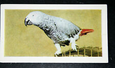 African Grey Parrot    Vintage Colour Photo Card  VGC