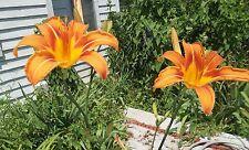 LOT 20 ORANGE DAY LILIES FAN TUBER BULB FLOWERS