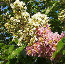 * 40 seeds dual white-pink ! Crepe Myrtle Crape Tree Shrub Lagerstroemia Flower