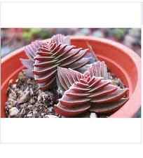 Rare CRASSULA Capitella Thyrsiflora RED PAGODA Succulent Cactus 10 Seed