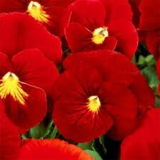Pansy - (Viola Wittrockiana Clear Crystals) - Scarlet - 50 seeds