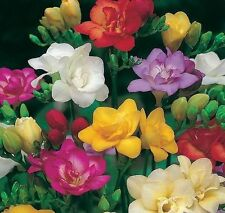 Pack 20 Freesia 'Double Mixed' Bulbs/Tubers Quality WPC.Prins Summer Flowering