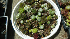 20 SEMPERVIVUM PLANTS-Hens and Chicks Succulents Rock Garden cold hardy
