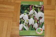 """8 Blumenzwiebeln,Galanthus,weiss,Schneeglöckchen,""""Elwesii""""#BZ113"""