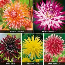 Rare imported DAHLIA Cactus Flower Seeds Mix  ,Tri color Flower-  25 Seeds