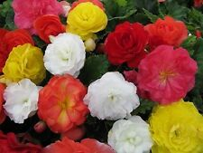 Begonia Seeds Nonstop Mix 15 Pelleted Seeds