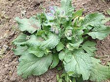 3 bustine SEMI BORRAGGINE PIANTE AROMATICHE CUCINA VASO orto giardino seeds