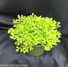 GOLD CLUB MOSS Selaginella kraussiana, Beautiful Moss for ground cover or pots.