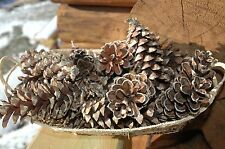 50 REAL WHITE PINE CONES NATURAL CONES GREAT CRAFTS WREATH!
