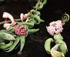 """Variegated Rope Hoya 'Carnosa Compacta' Tropical Blooming Plant 4"""" Pot"""
