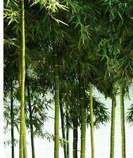 Winterharter Bambus Moso Riesenbambus für draussen den Garten dichte Hecken Deko