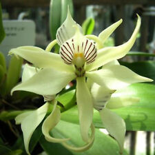 50Pcs New Rare Mixed Random Octopus Orchid Seeds China Rare Flower Seeds Beauty