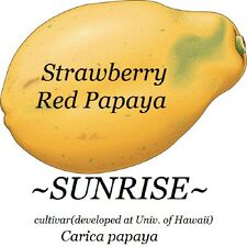 SUNRISE Strawberry RED PAPAYA Hybrid SUNUP SOLO BEST Papaya UH Cultivar 50 SEED