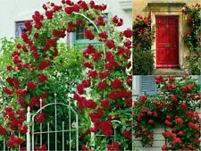 10 RED CLIMBING ROSE SEEDS. Garden Flower Gift Wedding Decoration Love Gate