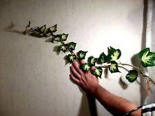 Jetzt pflanzen ! winterhartes Efeu Goldherz 100 Samen / für Hecken & Bodendecker