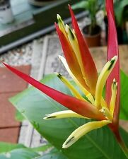 heliconia psittacorum LADY DI live plant red/yellow NOT in bloom set of 2!