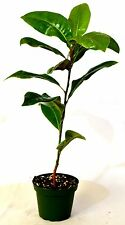 Southern Magnolia Tree - 4'' Pot Large Sweet Scent Flower GIFT Mature Holiday