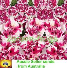 Pirouette Rose Petunia 25 pelleted seeds Aussie Seller