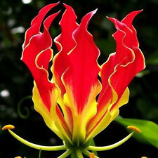 Garland Flame Lilium brownii Flower Seeds Courtyard Plant Flowers Lily 50 pcs