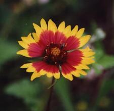 INDIAN BLANKET 400 FLOWER SEEDS BUY-0NE=GET-1 FREE