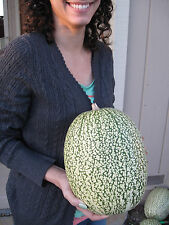 15 SEEDS Chilacayote Cucurbita Ficifolia (Shark Fin Melon)
