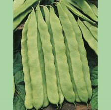 Kings Seeds - Beans - Climbing French Beans Hunter - 100 Seeds