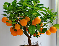 50 seeds of Mandarin Orange Bonsai Tree Citrus