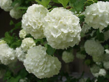 6 Snowball Bush Viburnum sp. flowering garden plant pot shrub tree flower