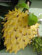 ~NANQKA~ Rollinia Deliciosa RARE Fruit Tree Prickly Custard Apple  20 seeds