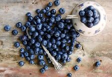 2 BLUE CROP Blueberry Bushes / Northern Highbush / 2-year Bush / 30-36""