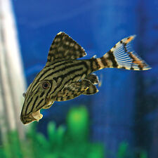 1 x L190 ROYAL PLECO aprox 3inch  CATFISH ALGAE EATER  LIVE  TROPICAL FISH