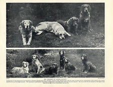 GOLDEN RETRIEVER DOGS FROM THE NORANBY KENNELS OLD ORIGINAL 1934 DOG PRINT