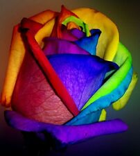 Make Your Own Rainbow Rose! 10 Seeds! Comb. S/H! SEE OUR STORE!