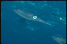634011 Reef Squid Are Good At The Art Of Camouflage A4 Photo Print