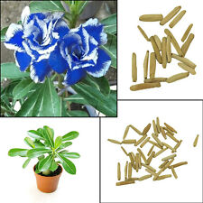 Hot 2Pc Blue with White Side Desert Rose Flower Plant Seeds Amazing Color Bonsai