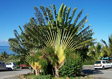 5 graines ARBRE DU VOYAGEUR(Ravenala Madagascariensis)G245 TRAVELERS PALM SEEDS