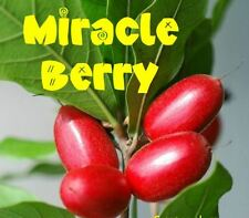 Chinese Miracle Berry Seeds - Edible Berry Plant - Rare - Aussie Seller