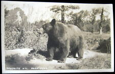 YOSEMITE NATIONAL PARK CA ~ 1900's BEAR ON THE LOOSE ~ Real photo PC  RPPC