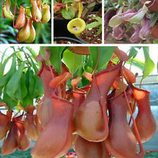 20Pcs Seeds Pitcher Plant Purpurea Foliage Carnivorous Shades Flower Garden FS