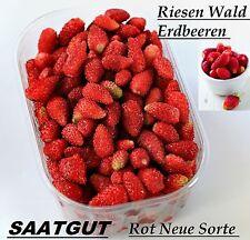 100x Gigante Foresta Fragole Rosso Semina Sementi Pianta Rarità commestibile