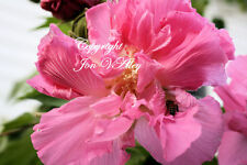 Confederate Rose 20 Seeds Hibiscus mutabilis Flower Tree Double Pink Blooms